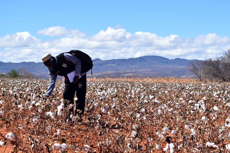 OIT Lavrador colhe algodão em plantação